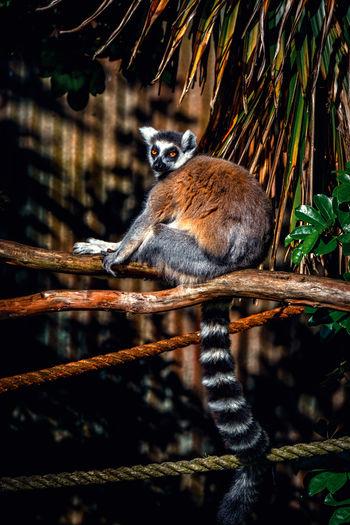 Lemur sitting on tree