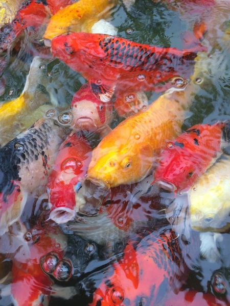 fancy carp fish in pool Multi Colored Colorful Color Pool Animal Carp Fish Fancy Carp Fish Fancy Carp Large Group Of Animals Animal Themes Fish Water Carp Day Outdoors Nature
