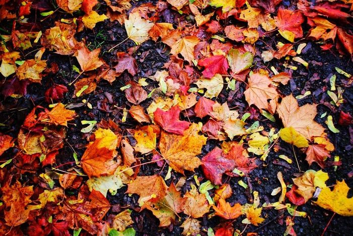 Leaf Change Dry Autumn Leaves Maple Leaf Fallen Abundance Nature Fragility Outdoors Backgrounds Day No People Beauty In Nature Large Group Of Objects Autumn Autumn Colors Leaves Only Leaves On The Ground Looking Down