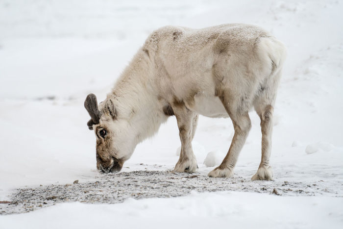 Svalbard Reindeer, Ny Alesund Animal Themes Arctic Reind Close-up Cold Temperature Day Domestic Animals Field Livestock Mammal Nature No People Ny Alesund One Animal Outdoors Reindeer Snow Svalbard  Weather White Color Wild Winter