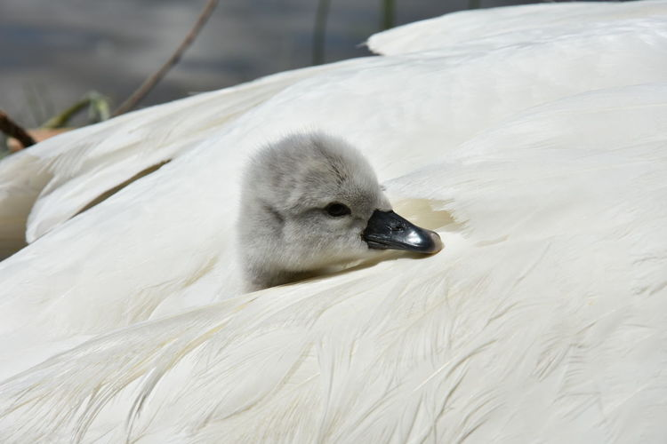 Baby Swans First Day Of Life Color Palette Swans White A New Beginning