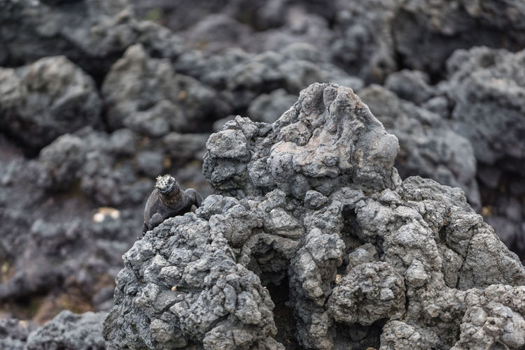 South America Ecuador Galapagos Islands Galapagos Dinosaur Marine Life Sealife Iguana Rock Formation Lava Formations Camouflage Camouflage Animals Nature No People Outdoors Close-up Textured  Day