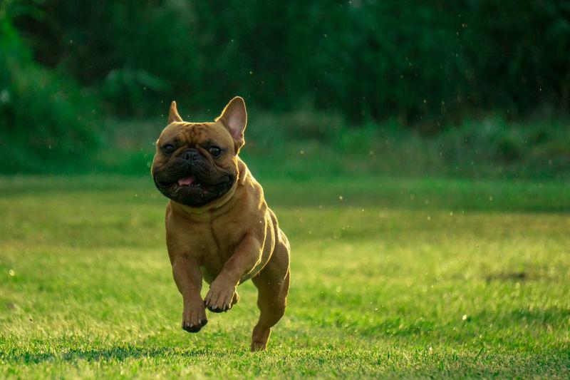 Französische Bulldogge  Hundefotografie Dogs Of EyeEm Tierfotografie EyeEm Selects Hundeportrait Hunde EyEmselect Düsseldorf Butsosexy Dogs Dogs Life Twerk #hundefoto Pets Portrait Dog Happiness Grass
