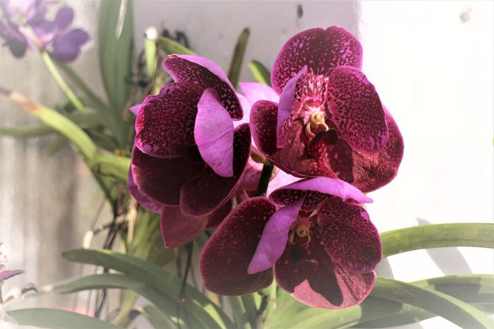 Beauty In Nature Blooming Close-up Day Flower Flower Head Fragility Freshness Growth Nature No People Orchid Outdoors Petal Pink Color Plant Purple