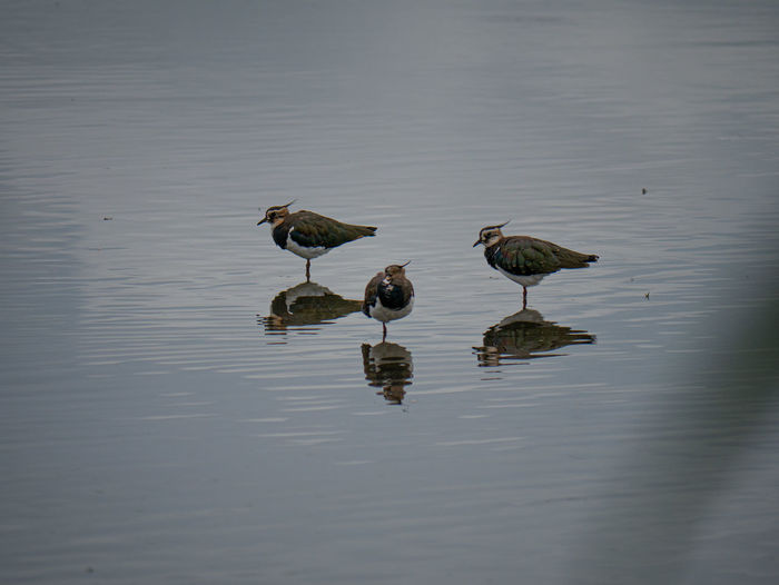 Lapwings at the