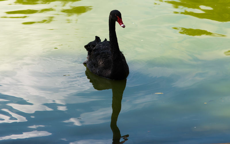 High angle view of black swan swimming in lake