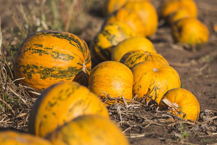 Close-up of pumpkins in field