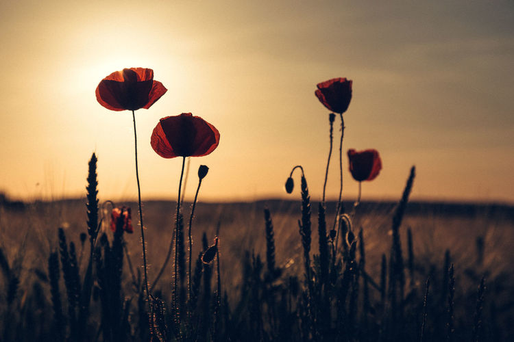 Close-Up Of Poppies Growing On Field Against Sky At Sunset