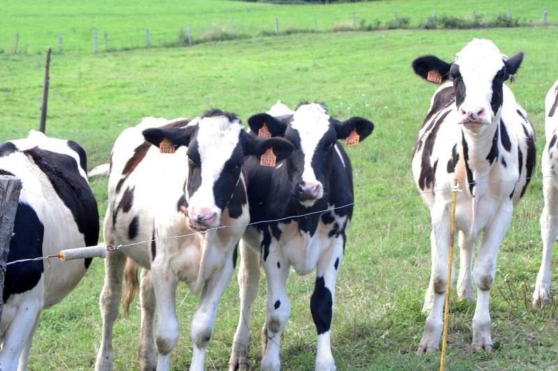 Cow Heifers Heifer