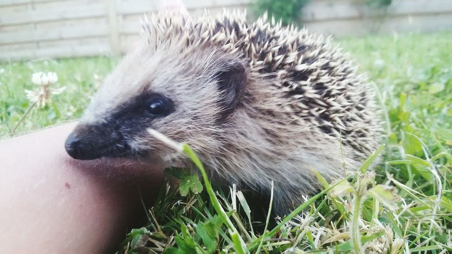 Animal Tiere Crash The Hedgehog Holidays Ferien Urlaub Süße Tiere Süss Taking Photos Fotografie Eyemphotography Igel Animal Photography Garten Middelkerke Mensch Und Tier Hedgehog Animals Belgium EyeEm Nature Lover 2016 EyeEm Best Shots Photography Garden Urlaub ❤