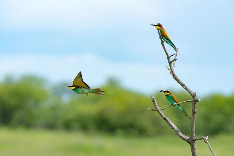 Bee-Eater, Etosha Nationalpark Animal Themes Animals In The Wild Bird Animal Wildlife Flying Day Focus On Foreground No People Spread Wings Outdoors Nature Mid-air Beauty In Nature Close-up Sky Bee Eater Beeeater