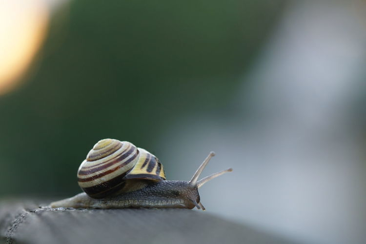 Snail creeping on a fence Creeping Animal Animal Antenna Animal Body Part Animal Shell Animal Themes Animal Wildlife Animals In The Wild Boredom Close-up Crawling Day Focus On Foreground Gastropod Grove Snail Icky Invertebrate Nature No People One Animal Outdoors Selective Focus Shell Slimy Snail
