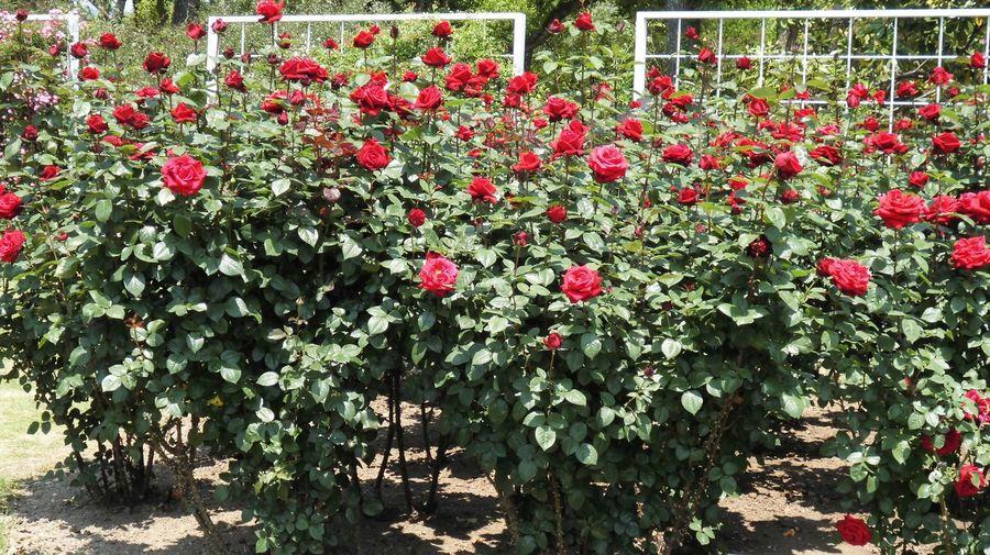 はな 花 バラ 薔薇 自然