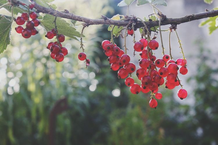 ♡ Fruit Fruits Fruitlover Red Fruits Truelife Photograph Photographer Photography Lifestyles Life Nature Nature_collection Nature Photography Naturelovers Day Tree Branch Fruit Red Hanging Leaf Close-up Plant Rowanberry