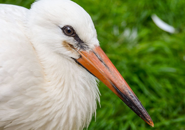 Close-Up Of Stork
