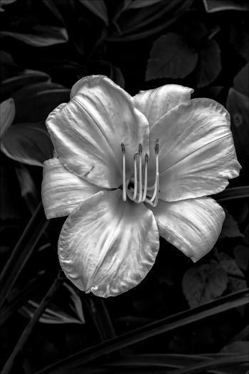 Flower Black And White Lily Flower Lily Nature Plant