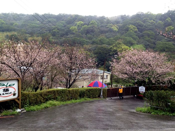Sakura Trees Flowers
