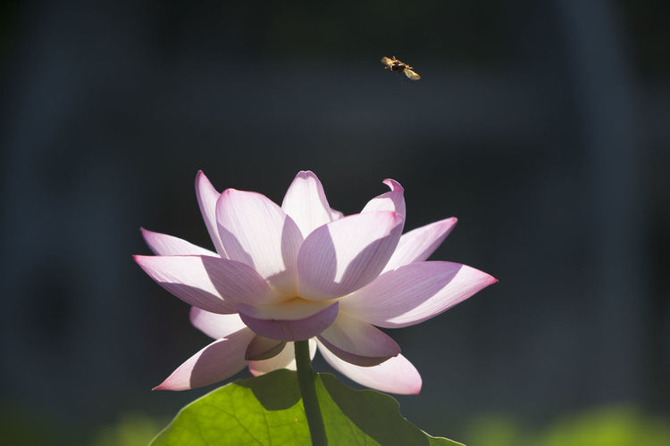 Flower Head Flower Lotus Water Lily Petal Springtime Lake Water Lily Close-up Plant