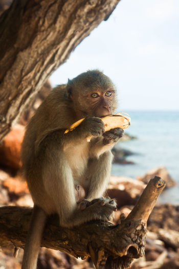 Monkey eating banana on tree at sea shore
