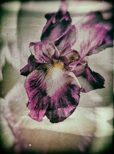 Summer Flowers Beauty Nature Iris