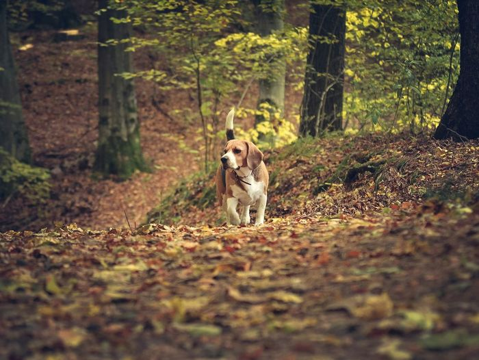 Tree Nature One Animal Animal Themes Day Pets Dog Beauty In Nature No People Beagle Forest Pies Las Autumn Jesień