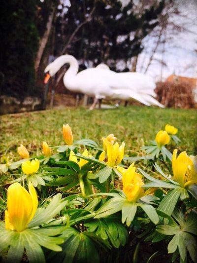 Frühling, bald bist du wieder da 😊 Spring Springflowers Comming Soon Comming Soon Swans Swan Gerda Und Fritz Pfullingen Germany Ni_col_e__ Reutlingen