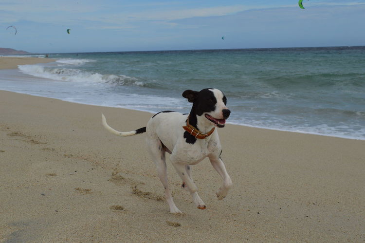 En playa los barriles disfrutando de un día ventoso Running Beach Day Dog Horizon Over Water Mammal One Animal Outdoors Pet Sand