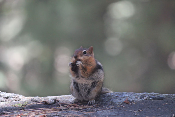 Chipmunk Best Shots]]EOS [Photography aCanon ]Wildlife sSequoia National Park Mix Yourself A Good Time Naturelover Nature Photography Nature_collection Nature Canonphotography Sequoia Sequoianationalpark Sequoia National Park, CA Chipmunk Photography Chipmunks
