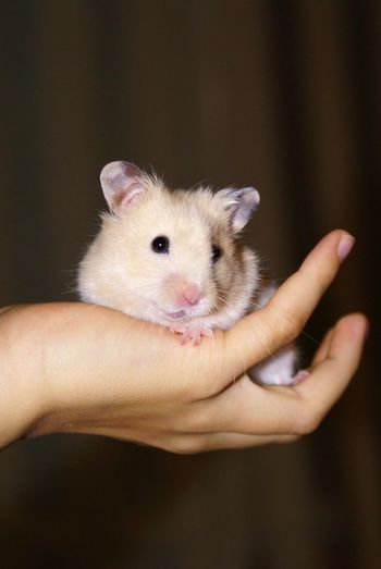 Animal Animal Body Part Animals Cute Day Focus On Foreground Hamster Hand Holding Human Finger Mammal Pet Pets Portrait Small Touching White Young Animal