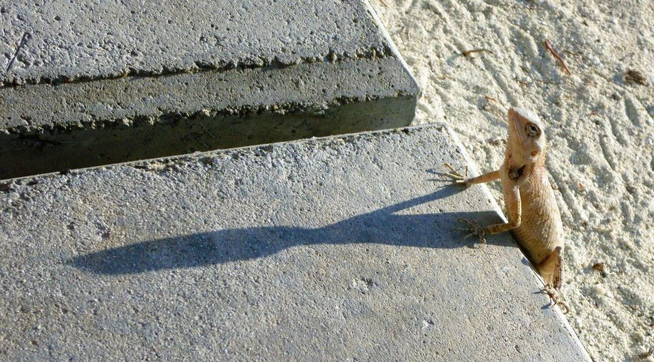 Lizard Eidechse Shadow ящерица จิ่งจก 蜥蜴