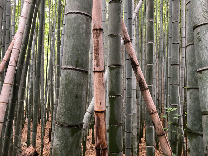 At the Arashiyama Bamboo Grove Tourist Destination Bamboo - Plant Bamboo Grove Arashiyama Bamboo Grove Nature Beauty In Nature