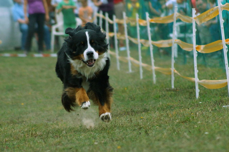 Animal Themes Bernersennen Bernhardiner Day Dog Dog Racing Domestic Animals Motion No People Outdoors Pets Sport