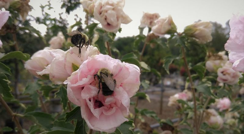 Bumble Bee Rose Of Sharon Animal Themes Beauty In Nature Bee Blooming Close-up Day Flower Flower Head Focus On Foreground Fragility Freshness Growth Nature No People Outdoors Petal Pink Color Plant Pollen Rose - Flower Wild Rose