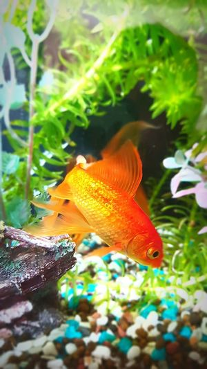 Careless, Innocent & Faithful. Who In Life Is The Pet? UnderSea Underwater Water Swimming Sea Life Red Close-up Fish Tank Aquarium Animals In Captivity Tank Water Plant Goldfish Fish Tropical Fish Fishes Animal Fin
