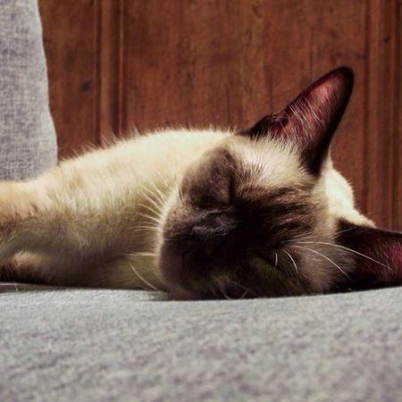 Sleepy Cat Sleepy Sleeping Siamese Siamesecat Siamesecats Cats Night Dreaming
