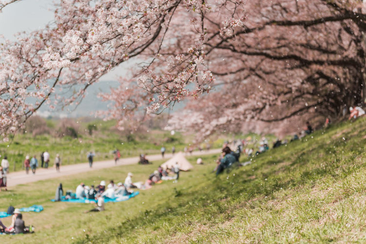 Kyoto, JAPAN - April 3, 2018: People enjoy seeing beautiful blooming cherry blossom at Yawatashi. Plant Tree Group Of People Nature Real People Growth Flower Beauty In Nature Blossom Day Flowering Plant Springtime Cherry Blossom Leisure Activity Grass People Land Men Park Cherry Tree Outdoors Sakura Sakura Blossom Travel Picnic Tourism Hanami