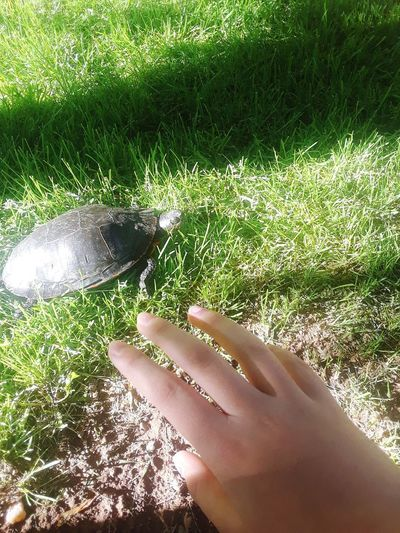 It's TURTLEY awesome. Favorite Animal Awesome Turtle Turtle 🐢 Turtle Love I Have A Weird Hand Human Hand Nail Polish Water High Angle View Close-up Grass
