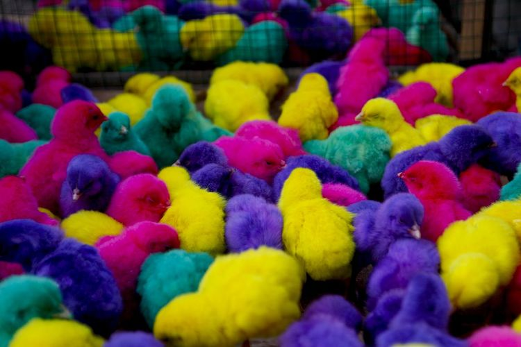 Colorful chickens in Indonesia. Multi Colored Bird Animal Themes Animal Vertebrate No People Yellow Group Of Animals Large Group Of Animals Animal Wildlife Indoors  Young Bird Abundance Close-up Textile Selective Focus Full Frame Day Focus On Foreground Baby Chicken Softness
