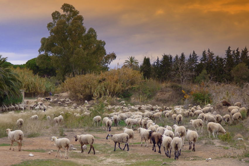 Animal Themes Beauty In Nature Cloud - Sky Day Domestic Animals Flock Of Sheep Flock Of Sheeps Grazing Landscape Large Group Of Animals Livestock Mammal Nature No People Outdoors Sheep Sky Tree