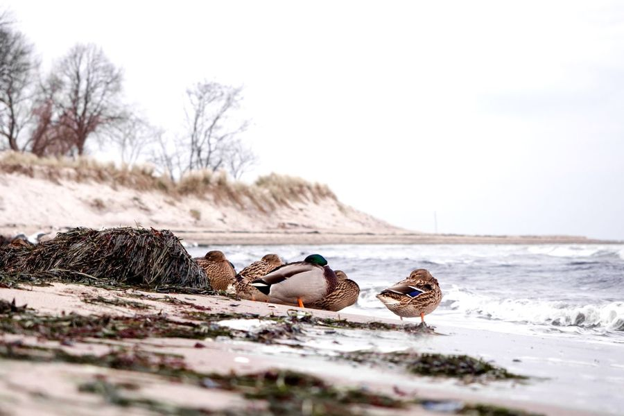 Sleeping 🦆 🦆 Ducks Bird Cold Temperature Winter Cloud - Sky Beach And Sky Sand Beach Strand Ostsee Baltic Sea Vitaminsea Animals In The Wild Sea And Sky Ducks Duck EyeEm Selects Animals In The Wild Nature Bird Water Animal Themes Animal Wildlife No People Outdoors Beauty In Nature Beach Day Sea Sky