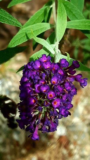 Flower Head Flower Lilac Leaf Multi Colored Purple Close-up Plant