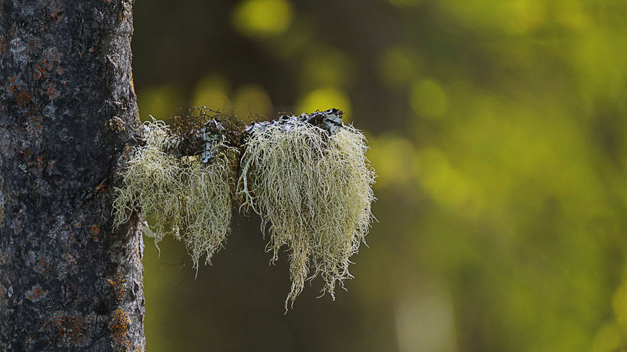 Beard Lichen EyeEm Nature Lover EyeEm Selects EyeEm Gallery EyeEmNewHere Lichen Plant Alaska Boreal Close-up Day Focus On Foreground Growth Moss Nature No People Old Man's Beard Outdoors Pedro Dome Plant Spruce Tree Tree Trunk Trunk Wood - Material Wooden Post The Great Outdoors - 2018 EyeEm Awards The Still Life Photographer - 2018 EyeEm Awards The Traveler - 2018 EyeEm Awards