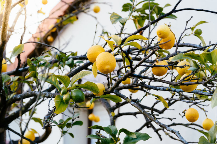 Close up of lemon tree Lemon Tree Lemon Fruit Healthy Eating Food Food And Drink Plant Freshness Yellow Branch Tree No People Growth Nature Low Angle View Wellbeing Focus On Foreground Day Fruit Tree Outdoors Ripe Backgrounds Citrus Fruit Citrus  Citrus Tree