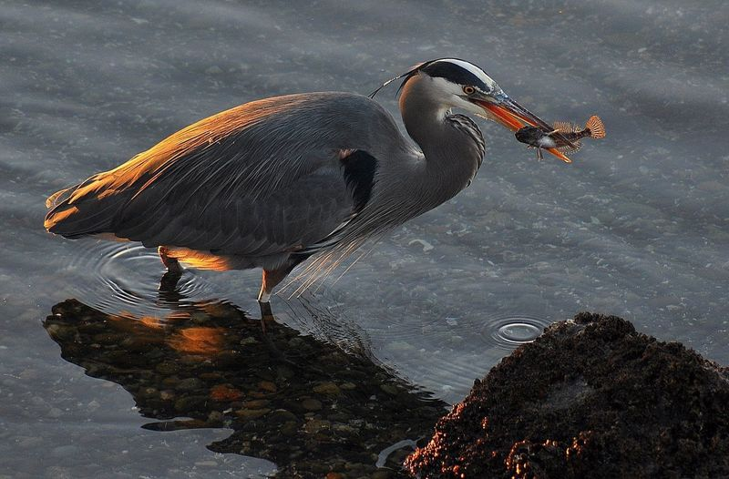 Close-up of blue heron holding fish with beak in lake