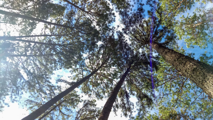 Pine Tree Branches Backgrounds Beauty In Nature Branch Coniferous Tree Day Directly Below Forest Growth Low Angle View Nature No People Outdoors Pine Tree Plant Scenics - Nature Sky Tall - High Tranquility Tree Tree Canopy  Tree Trunk Trunk