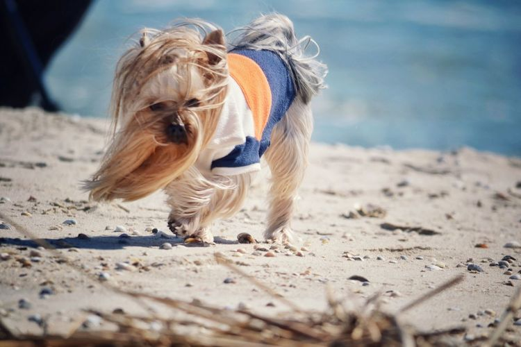 Yorkshire terrier on sandy beach