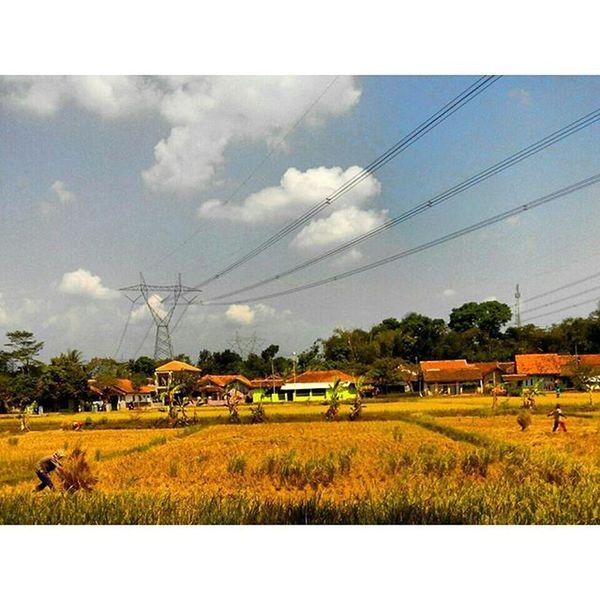 Panen Indonesiaku Jawabarat INDONESIA Bekerja Keringat Bangsa ALaM Kehidupan Work Field Hardworker Nature View Pocketphotography Lenovotography Fatamorphosis Photooftheday Lzybstrd Photostory
