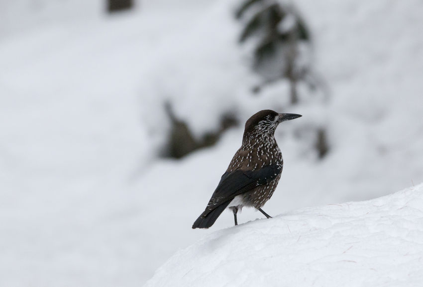 Spotted nutcracker Nucifraga Caryocatactes Nutcracker Spotted Nutcracker Animal Themes Animal Wildlife Animals In The Wild Bird Close-up Cold Temperature Day Nature No People Nocciolaia One Animal Outdoors Perching Snow Winter