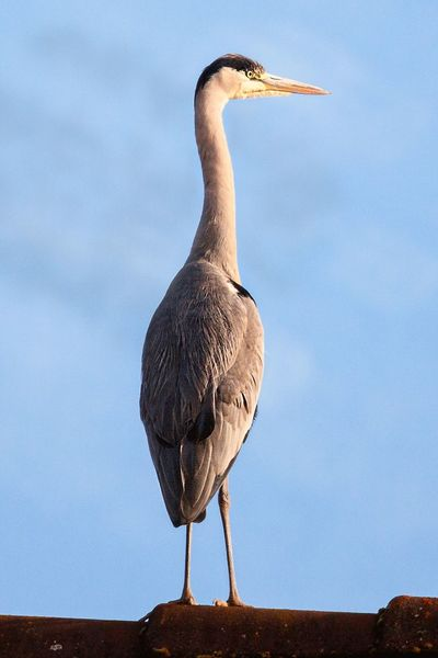 Animal Themes Animal Wildlife Animals In The Wild Bird Day Full Length Nature No People One Animal Outdoors Perching Sky Grey Heron  Beauty In Nature