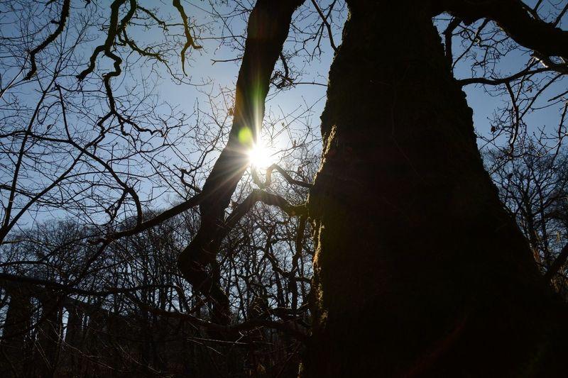 Sunflare Wood -